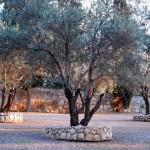 Olivenbaum | Оливки