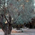 Olivengarten | Оливковый сад