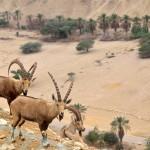 Wüstensteinböcke | Сирийский горный козел