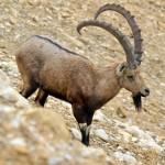 Wüstensteinbock | Сирийский горный козел